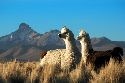 Alpaca Mother and Child at the Sajama National Park